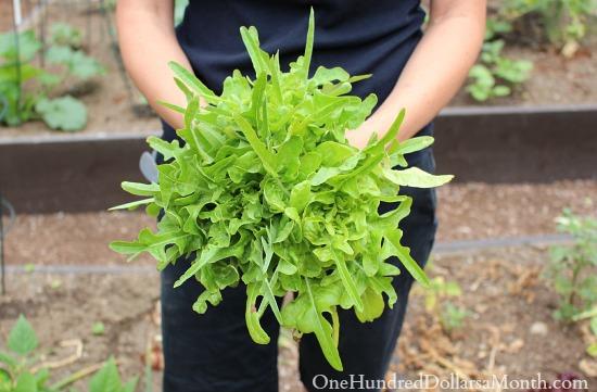 oak leaf lettuce pictures