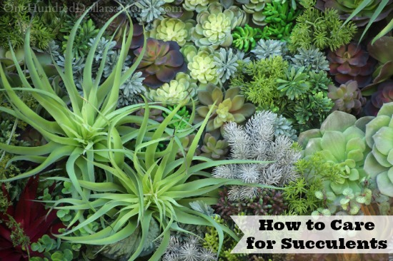 How to Care for Succulents