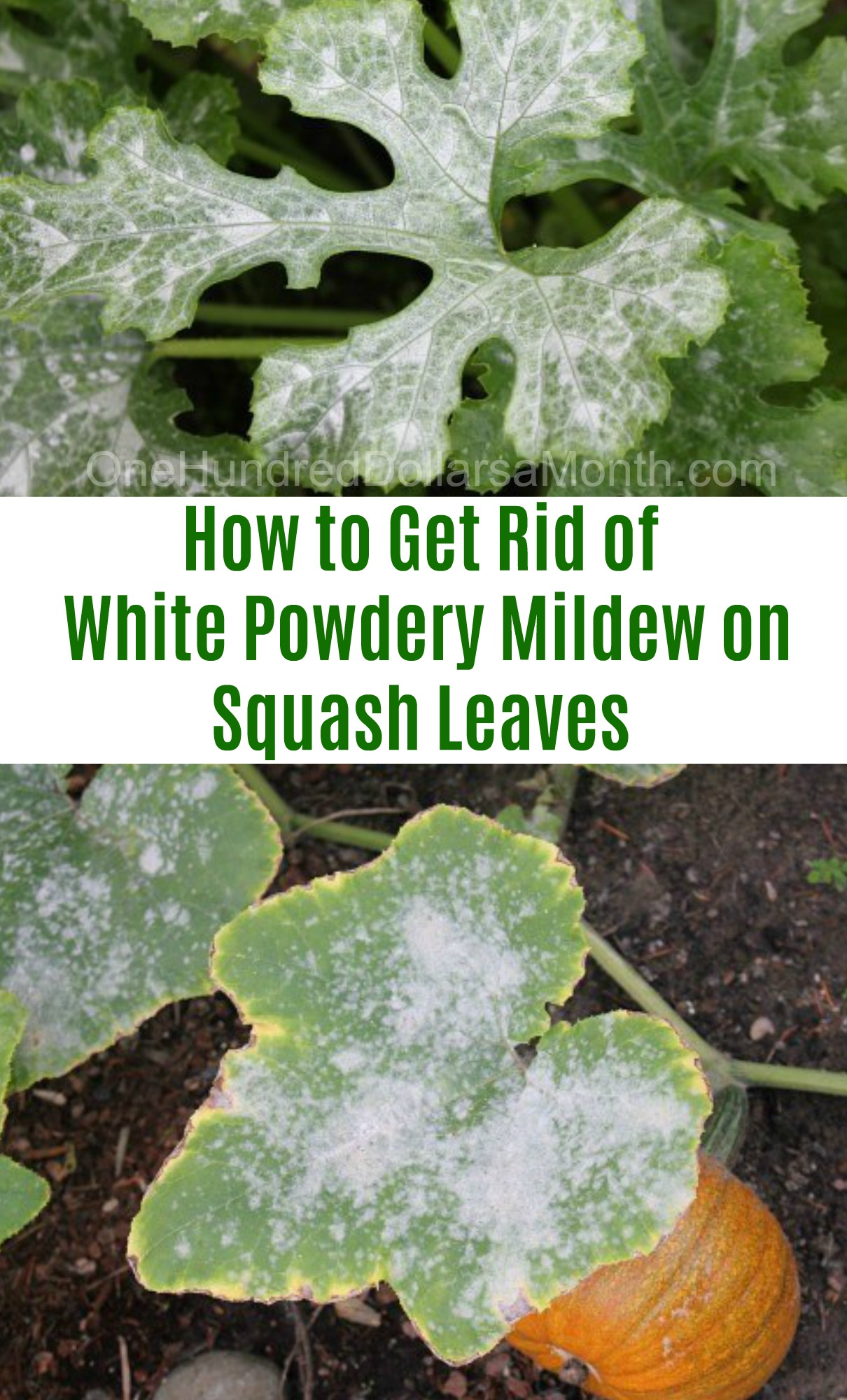 how to get rid of white powdery mildew on squash leaves one hundred dollars a month. Black Bedroom Furniture Sets. Home Design Ideas