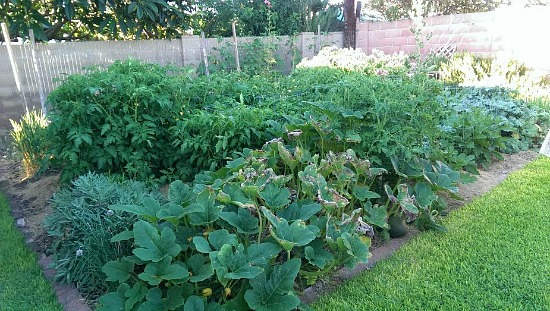 growing squash in southern california