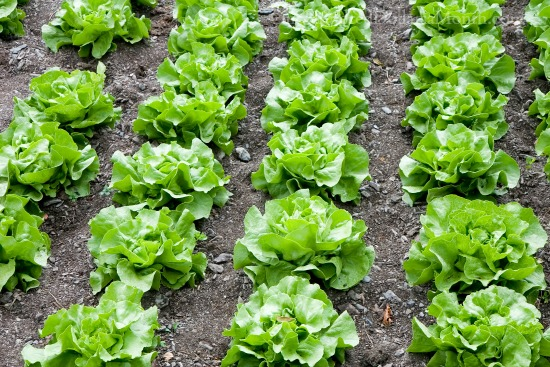 lettuce growing in rows