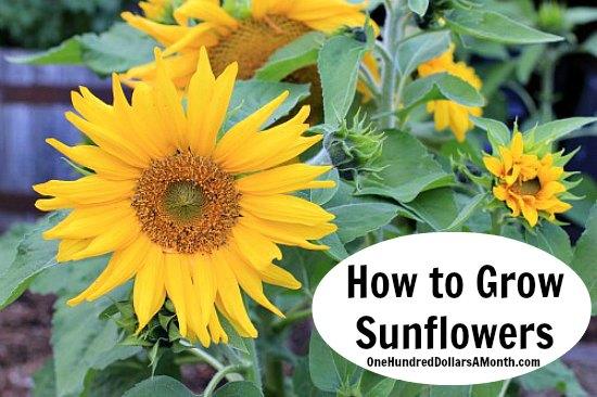 free kindle books sunflowers gymboree pop up tents tin