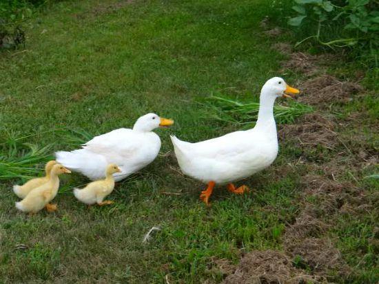 mama duck and baby ducks