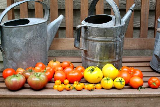 heirloom tomatoes garden bench watering cans