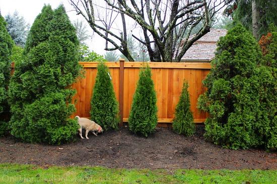 arborvitae hedge