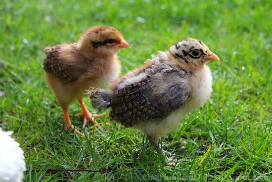 -Sicilian Buttercup  chick