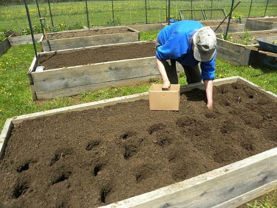 raised garden photos planting potatoes