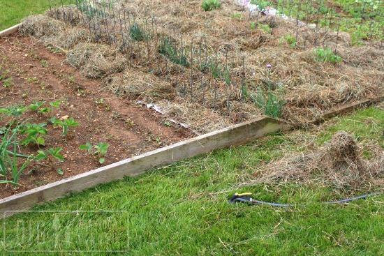 mulching garden bed with hay