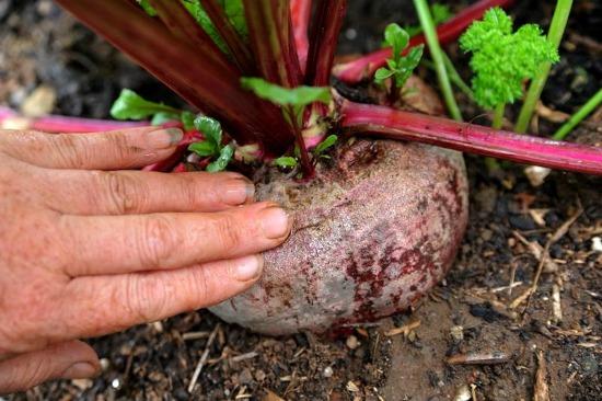 giant-beet
